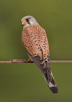 250px-Common_kestrel_falco_tinnunculus