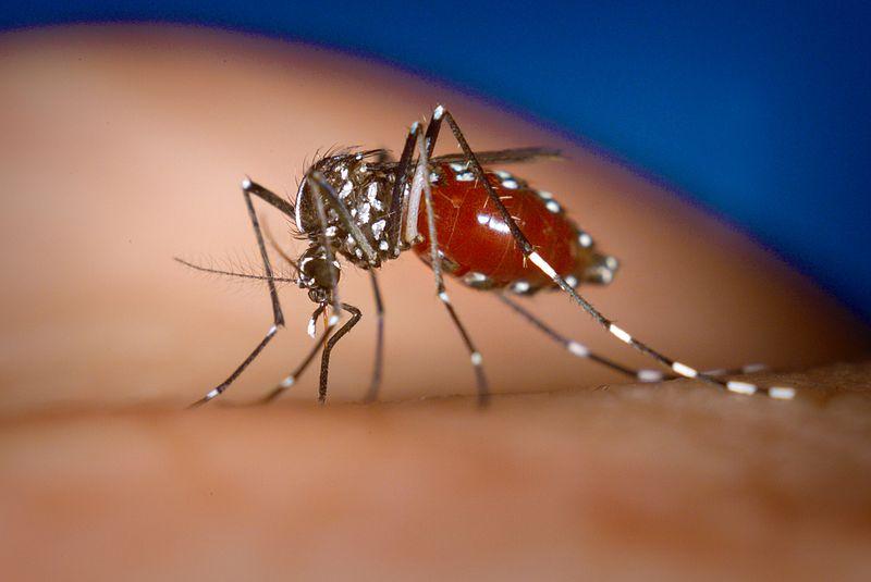 800px-Aedes-albopictus